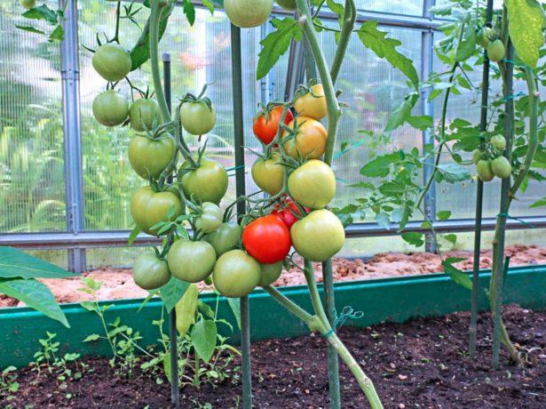 Куст помидоров, сформированный в два стебля