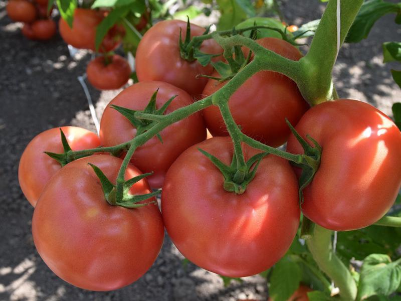 Томат Кибо — урожайный розовый гибрид