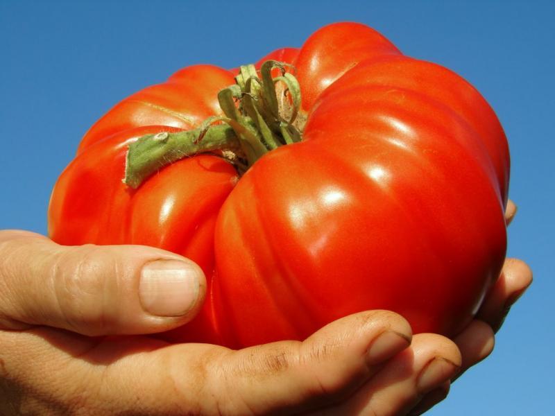 Сорт Алтайский шедевр — большой и холодостойкий томат