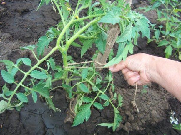 Рука женщины, подвязывающей помидор к опоре