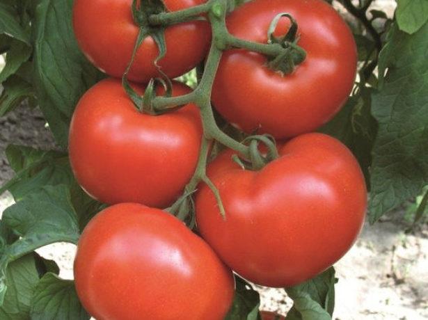 Кисть с созревшими томатами
