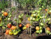томат толстый джек