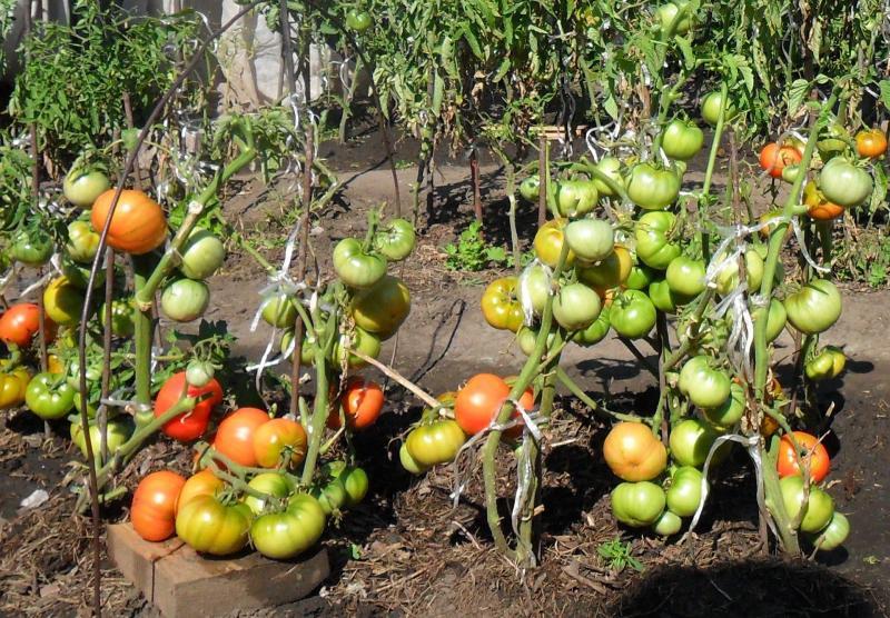 Описание сорта томата Толстый Джек