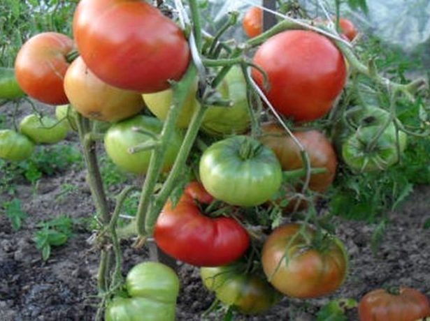 Сорт томата Толстый Джек