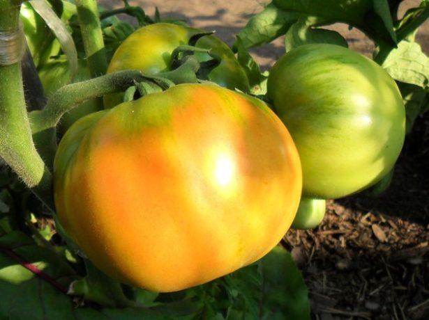 Незрелые плоды сорта томата Толстый Джек