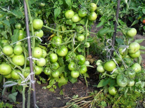 Урожайность сорта Толстый Джек