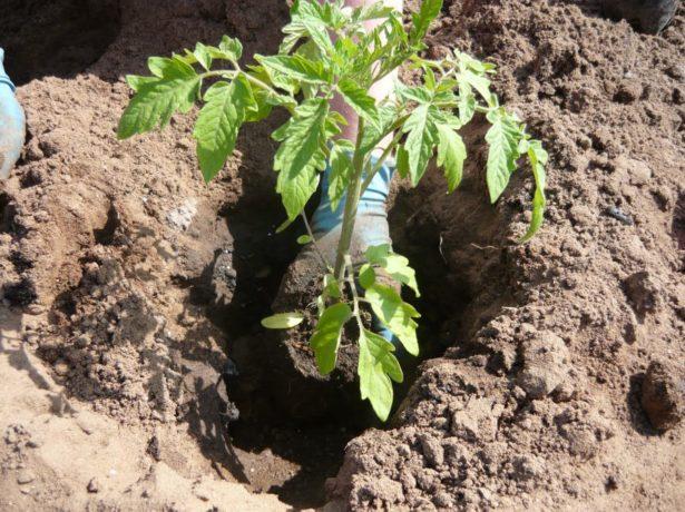 Высаживание рассады томата в открытый грунт