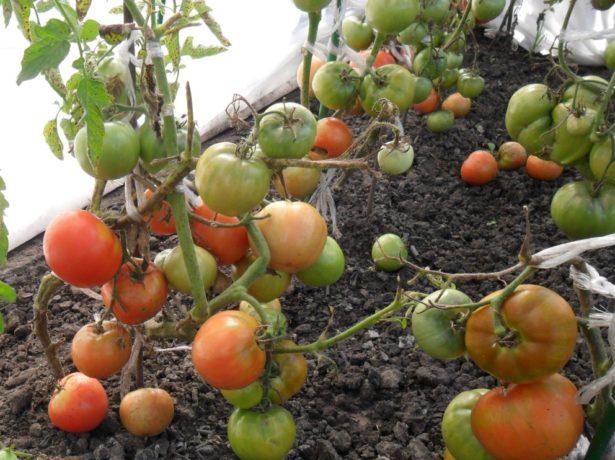 Безрассадные кусты томата Толстый Джек