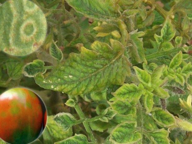 Табачная мозаика томата