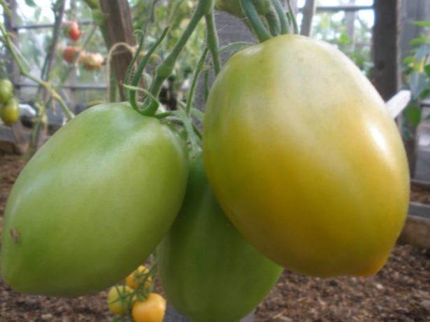Плодовая кисть томата Южный загар