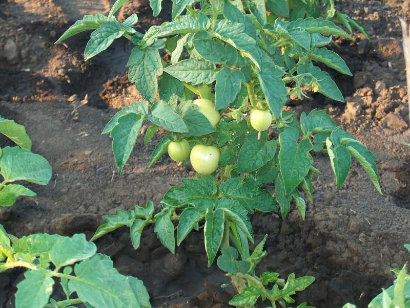 Данко— томат с пылающим сердцем