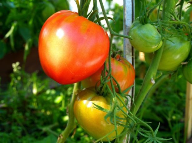 Плоды томата сорта Данко