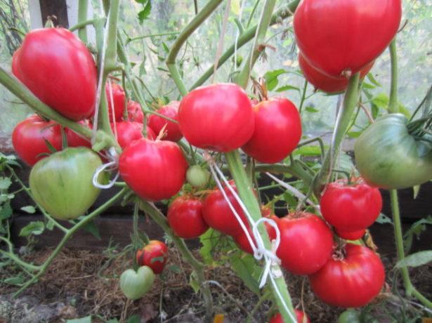 Томат Данко со спелыми плодами