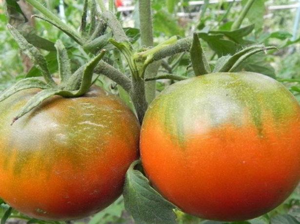 Плоды томата Хлыновский