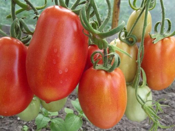 Плоды томата Гулливер