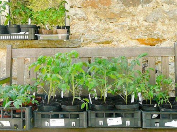 Закаливание рассады томата