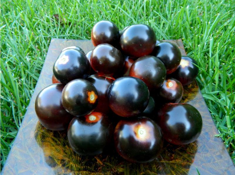 Эта гроздь действительно Чёрная: самый богатый антоцианами сорт томатов