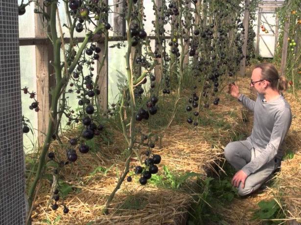 Томаты Чёрная гроздь в теплице