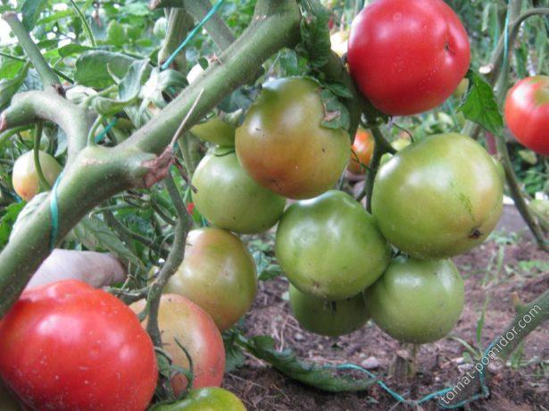 Плодовые кисти Титана
