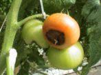 макроспориоз томатов