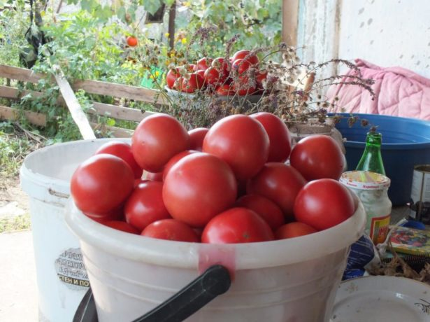 Урожай томатов Титан