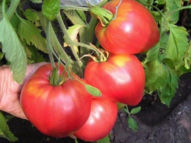 Плоды томата Севрюга