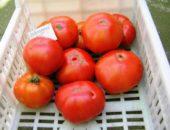 Хлебосольный помидор.