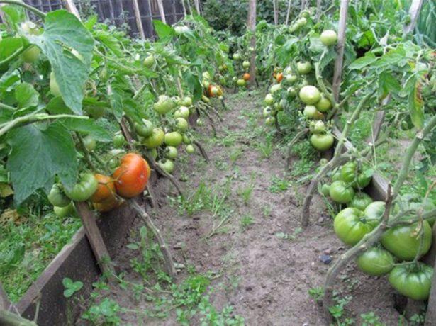 Сорт Хлебосольный в огороде