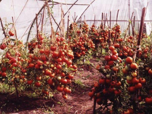 Созревание томатов Лабрадор
