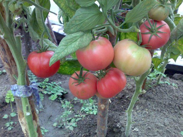Сорт томатов Розовый слон