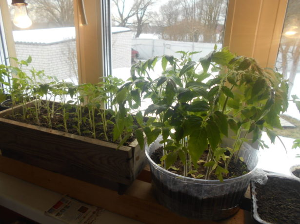 Рассада томатов на подоконнике