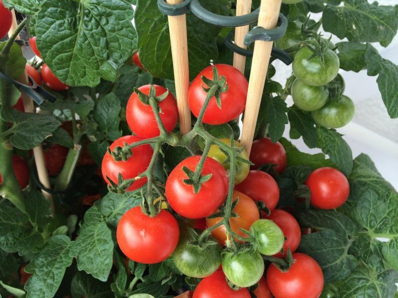 Как подвязать помидоры в открытом грунте: основные способы и правила