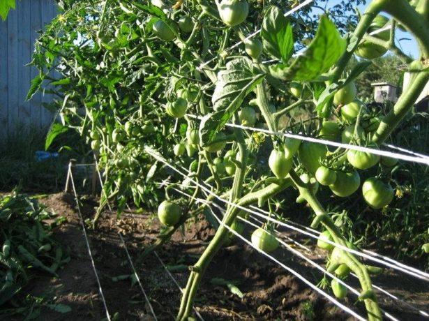 помидоры на шпалере