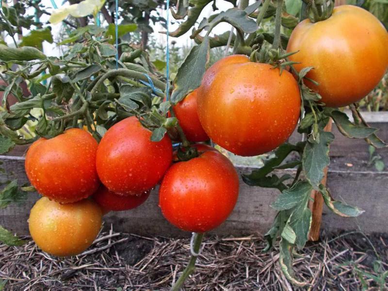 Крайний север —томат для регионов рискованного земледелия