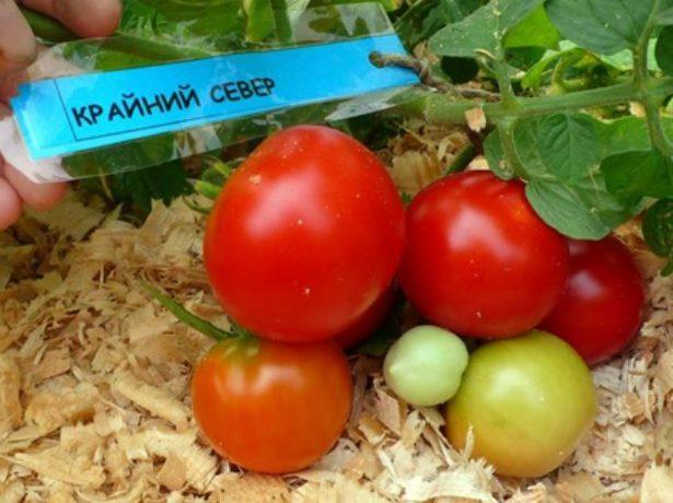 Плоды томата Крайний север