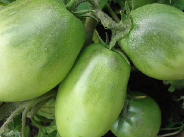 Незрелые плоды томата сорта Буян