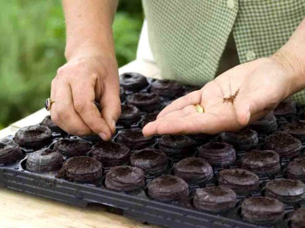 Посадка семян томатов в торфяные таблетки