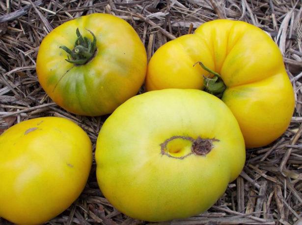 Созревшие томаты Болото