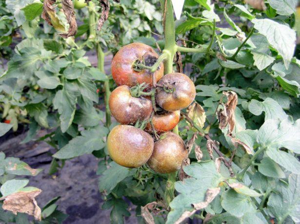 Куст томатов, заражённый фитофторозом