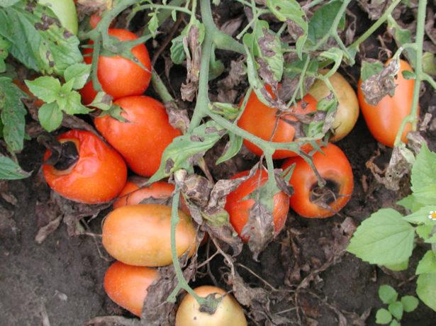 Фомоз томатов