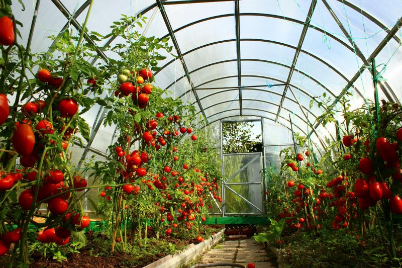 Болезни и вредители томатов в закрытом грунте: симптомы поражения и способы лечения