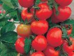 Сорт томатов Альгамбра