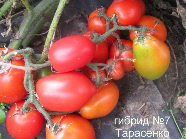Томат Гибрид Тарасенко 7