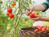 выбор семян томата