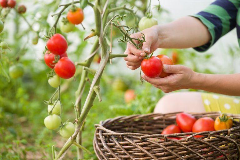 сорта помидор для средней полосы россии