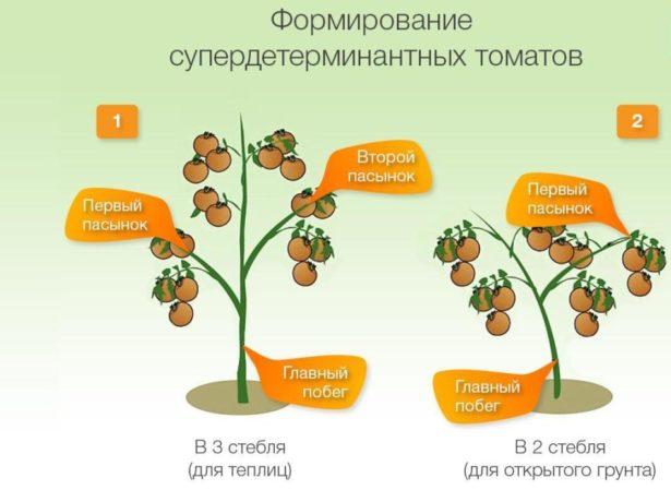 томат в 2 стебля