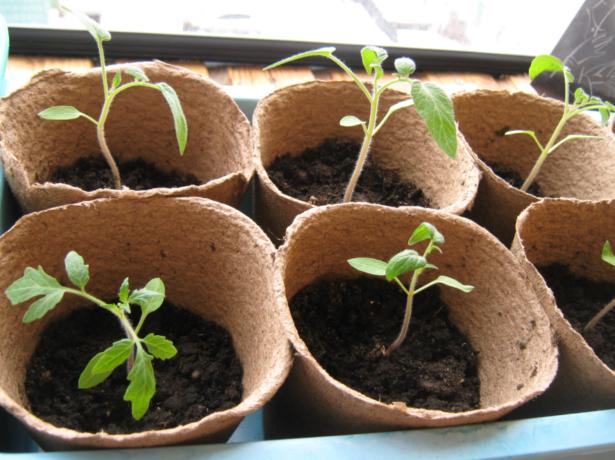 Рассада томатов в торфяных горшочках