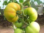 Незрелые плоды томата Президент 2