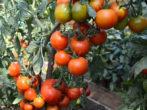 Сорт Видимо-невидимо — «помидорное богатство»