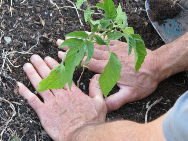 Пересаживаем рассаду томатов на постоянное место